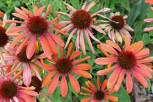 Coneflower Orange Flowers