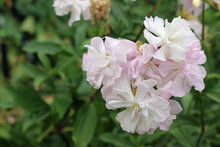 White And Pink Double Soapwort Flowers