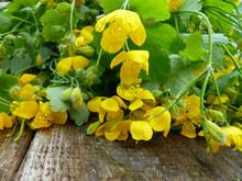 Greater Celandine Herb (Chelidonium Majus, Tetterwort, Nipplewort Or Swallowwort). Yellow Flowers And Green Leaves On Old Wood Background. Closeup, Selective Focus.