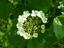 Viburnum Opulus, Guelder Rose. Beautiful White Flowers Of Blooming Viburnum Shrub On Dark Green Background. Selective Focus. Nature Concept For Green Design.