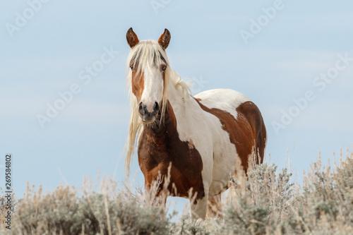 Valokuva  Wild Mustang Mare