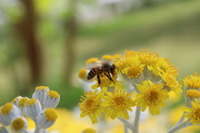 Honey Bee On Yellow Daisy Flower, Close Up View