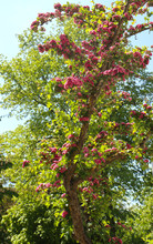 Beautiful Lagerstroemia Or Crape Myrtle Tree In Full Blossom With Purple Flowers In Spring