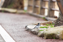 Takayama, Japan In Gifu Prefecture With Japanese Wagtail Bird On Street Near Miyagawa River