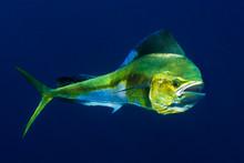 Mahi Mahi Or Dolphin Fish Show...