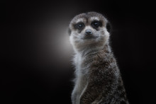 Adorable Gray Haired Meerkat L...