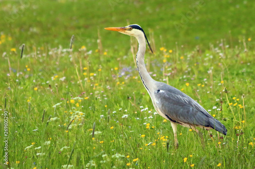 Photo Graureiher (Ardea cinerea)