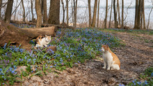 Two Wild Cats In The Spring Fo...