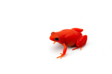 The Golden Frog Mantella Isola...