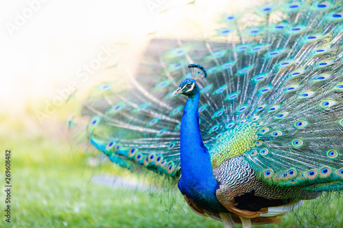Peacock with all its colors