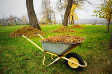 Wheelbarrow Full Of Yellow Fal...