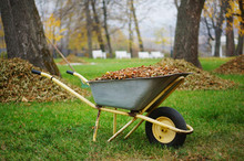 Wheelbarrow Full Of Yellow Fallen Leaves. Fall Cleanup And Preparation And Removing Leaves In Autumn Park