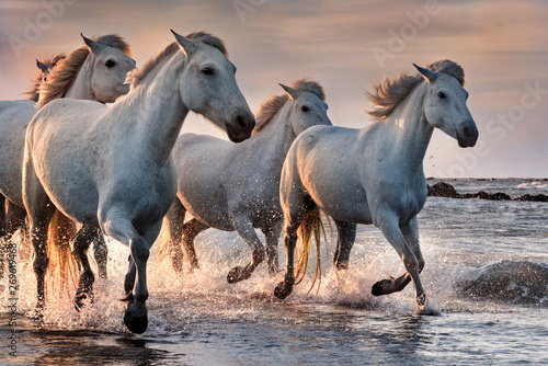 Poster de jardin Chevaux White horses in Camargue, France.