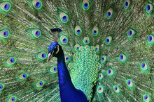 Close Up Portrait Of A Peacock (pavo Cristatus) Fanning Out It's Tail Feathers