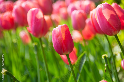 Pink tulip flowers, environmental background #269629079