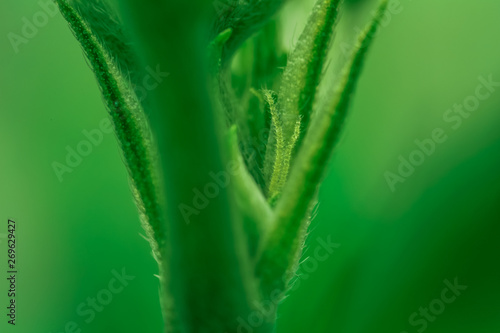 Vászonkép Anatomy of Medical Cannabis Indica Flowering Time - Macro Photo of Primordial, Premature Stage of Stigmas and Calyx with Trichomes, flower period