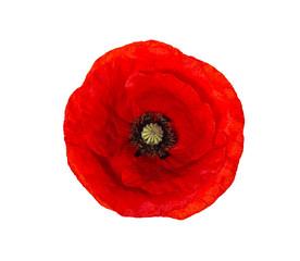 Svijetlocrveni cvijet maka izoliran na bijelom, pogled odozgo