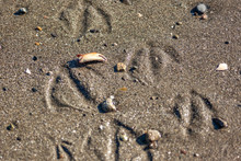 Webbed Feet Seagull Tracks In The Sand With Crab Claw