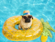 Cute Pug Dog Floating In A Pool On A Pineapple Floaty Wearing A Panama Hat And Sunglasses