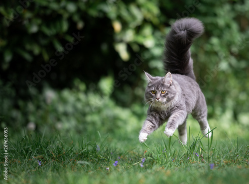 playful young blue tabby maine coon cat jumping over meadow floating in the air looking straight ahead