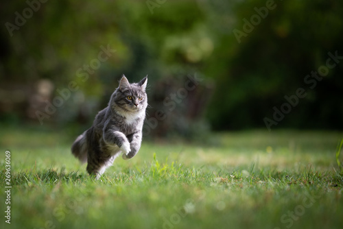 young playful blue tabby maine coon cat running on lawn in the back yard full speed looking straight ahead on a sunny day