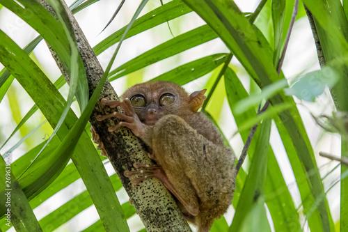 Photo  Tarsier monkey the world's smallest, The Philippine tarsier (Carlito syrichta) is a species of tarsier endemic to the Philippines