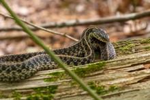 A Common Garter Snake Rests On...