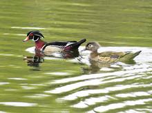 Male And Female Wood Duck Swim...