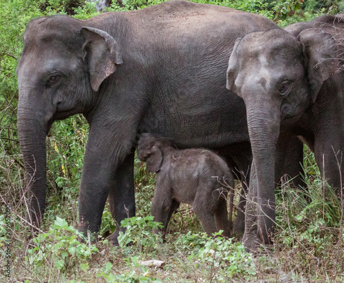 Photo Baby Elephant Feeds From Mother in Forest