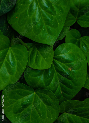 Poster Vegetal Fresh spring leaves