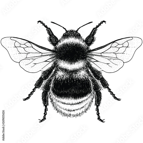 Illustration of a Garden Bumblebee (bombus hortorum) Fototapete