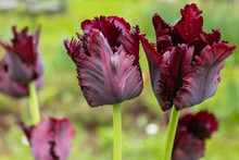 Tulip 'black Parrot' , Beautif...