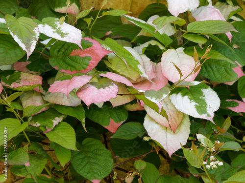 Le kiwi arctique ou Actinidia kolomikta, une plante grimpante ornementale originaire de régions froides d'Asie aux feuilles panachées de blanc, crème et rose aux petites fleurs blanches parfumées Canvas Print