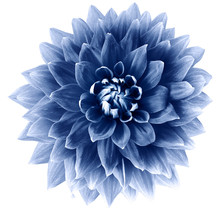 Blue Flower Dahlia On A White Background Isolated With Clipping Path. Closeup. Big  Flower For Design. Dahlia.