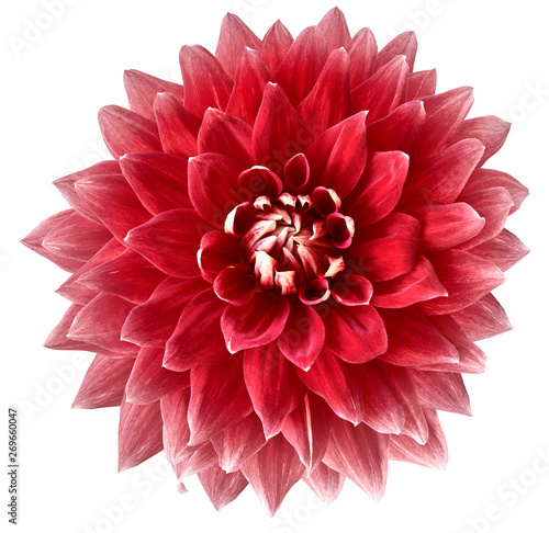 Cadres-photo bureau Dahlia red flower dahlia on a white background isolated with clipping path. Closeup. big flower for design. Dahlia.