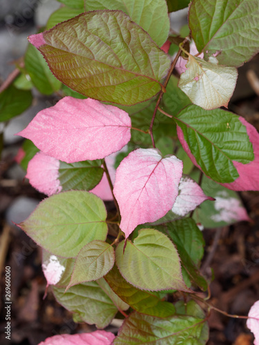 Canvas Print Variegated-leaf hardy kiwi or Actinidia kolomikta, an ornamental a woody climbing plant native of cold region of asia with colored leaves and little white flowers