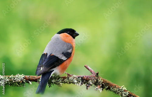 Valokuvatapetti Eurasian bullfinch perched on a mossy branch