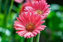 Two Pink Osteospermum Daisy Flowers