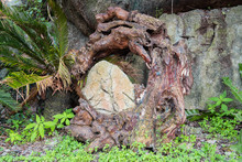 Old Tree Red Root Around The Stone