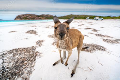 Fototapeta Kangaroo at Lucky Bay in the Cape Le Grand National Park