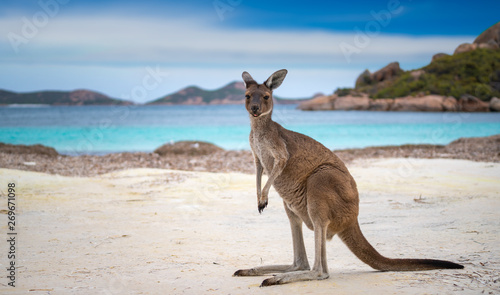 Foto op Canvas Kangoeroe Kangaroo at Lucky Bay in the Cape Le Grand National Park