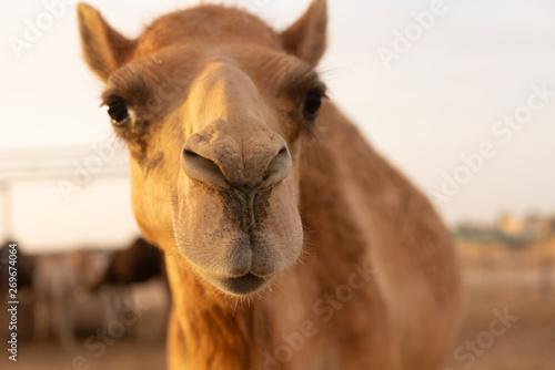 Spoed Fotobehang Kameel Nahaufnahme eines Kamels