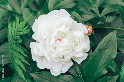 Fototapety, obrazy: White peony flower on a green leaf backgroun.