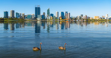 Swan In The River And Perth Ci...