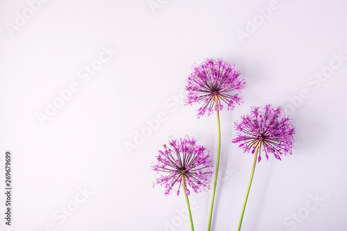 Fototapeta Czosnek - kwiaty  spring-flowers-on-a-gray-background-creative-picture-with-space-for-text