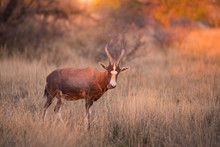 A Blesbok (Damaliscus Pygargus Phillipsi) Standing In Long Grass, Looking At The Camera At Sunset. Dikhololo Game Reserve, South Africa