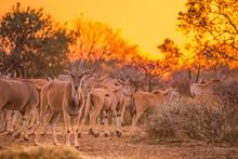 A Herd Of Eland (taurotragus O...