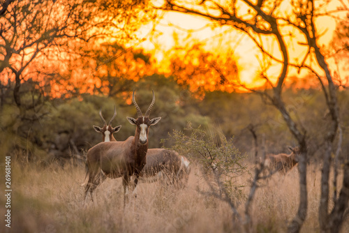 Foto auf AluDibond A blesbok (Damaliscus pygargus phillipsi) standing in the grass, looking at the camera at sunset, with the rest of the herd in the background. Dikhololo game reserve, South Africa