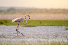 A Greater Flamingo (phoenicopterus Roseus) Perfectly Posed, Walking Through Shallow Waters In Isimangaliso Wetlands Park, St. Lucia, South Africa.