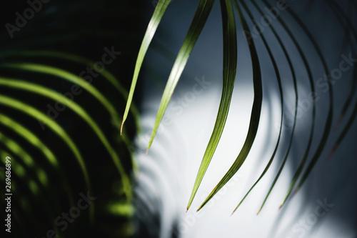 Photo Areca Palm Leaf in Summer Light